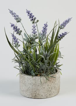 Lavender in Cement Pot (30cm x 15cm)