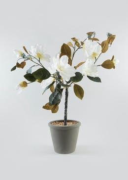 Magnolia Tree in Pot (85cm x 35cm x 35cm)