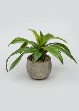 Aloe Plant in Pot (40cm x 40cm x 32cm)