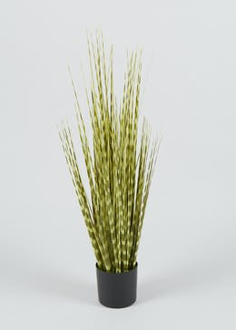 Zebra Grass in Pot (75cm x 23cm)