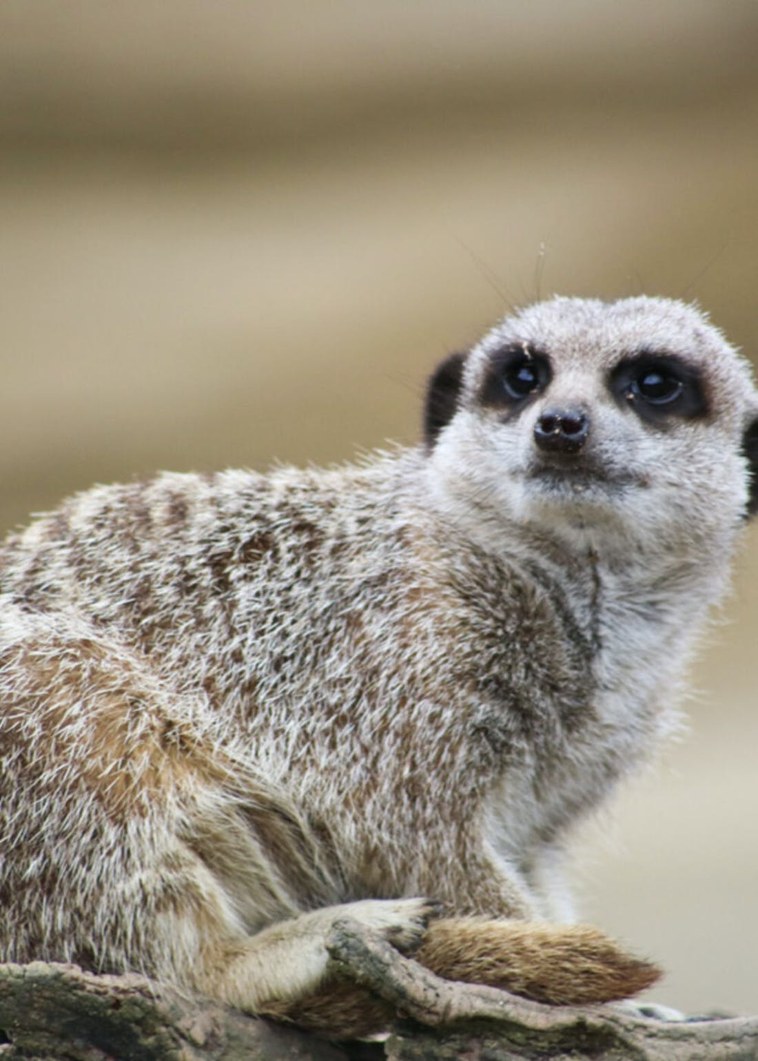 Virgin Experience Days Meet & Feed the Meerkats at Millets Falconry Centre