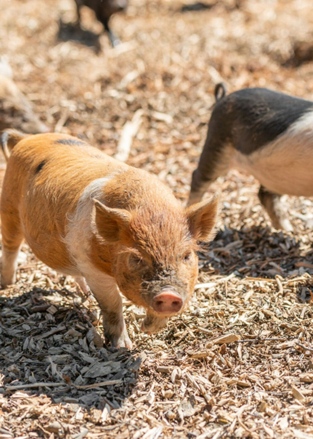 Virgin Experience Days Piggy Pet & Play for 2 at Kew Little Pigs
